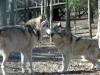 100427021923_alpha-wolves-400