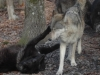 100427022011_wolf-play-400
