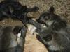 100427022011_wolf-puppies-400